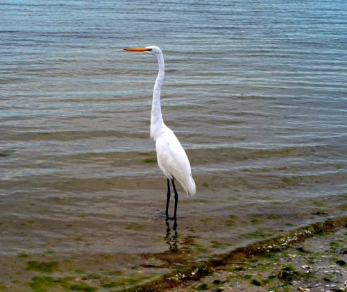 Great White Egret. Sanibel Causeway between Ft. Myers and Sanibel Island, Fla. Paul Goldfinger photo © Jan., 2013.