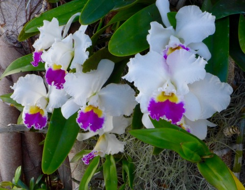 Orchids on 3rd Street in Naples as you walk by. Photo by Eileen Goldfinger, Blogfinger staff © 2 Feb. 2017