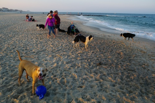 Chico, OG dog, visits the Asbury dog beach and has a great time stealing a blue toy from  one of his pals.  Paul Goldfinger photograph.    Chico belongs to Moe Demby, BF staff.